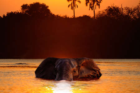 Swimming Elephant in river at the sunset photo