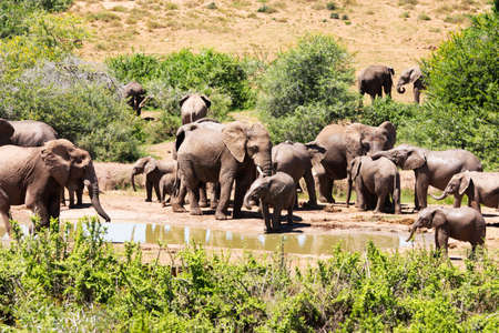 posterity: the flock of elephants in South Africa
