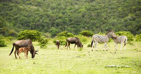 descendants: the flock of antelopes gnu and zebras