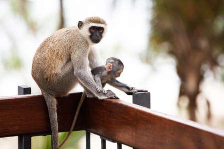 descendants: portrait of monkeys sitting and posing. Safari.