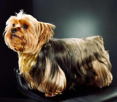 studio shot of cute yorkshire terrier photo