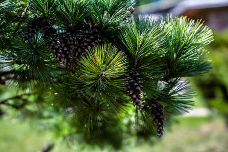 Pine leaf in closeup shoot