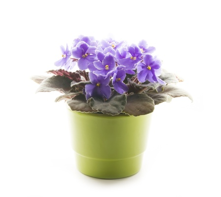 violets in green ceramic pot isolated on white