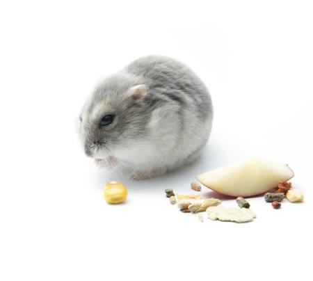cute hamster eating corn on white background