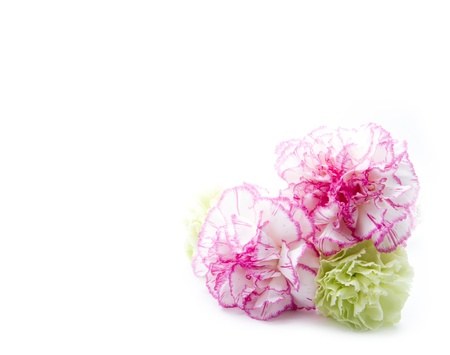 gillyflowers isolated on white background with copy space