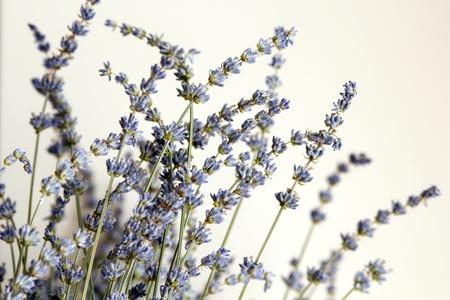 herbalism: fresh lavender from summer garden