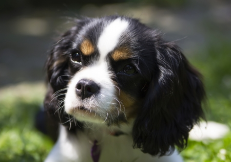 cavalier: portrait of cavalier kings charles spaniel puppy