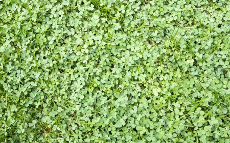 cloverleafes: tre foglie di trifoglio che cresce sul prato