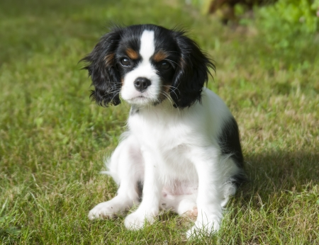 cavalier king charles spaniel: cavalier kings charles spaniel puppy sitting on the grass