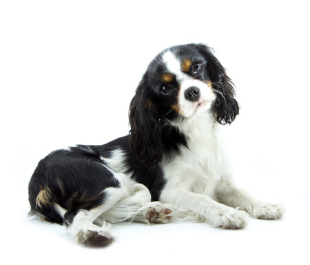 cavalier king charles spaniel: young cavalier kings charles spaniel isolated on white