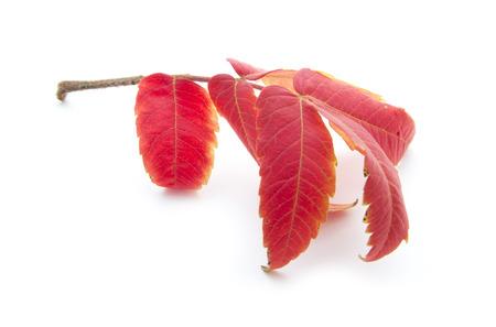 red autumn leaf isoated on white background Stock Photo - 23878370