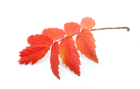 red autumn leaf isoated on white background Stock Photo - 23878371