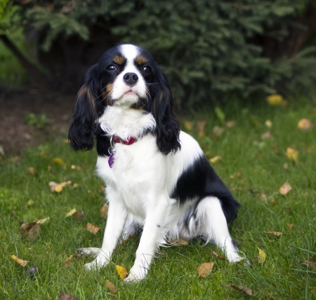 young cavalier kings charles spaniel Stock Photo