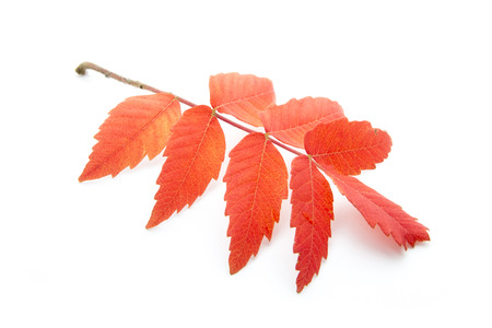 red autumn leaf isoated on white background Stock Photo - 23878422