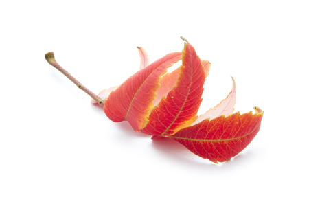 red autumn leaf isoated on white background Stock Photo - 23878423