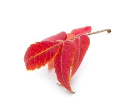 red autumn leaf isoated on white background Stock Photo - 23878424