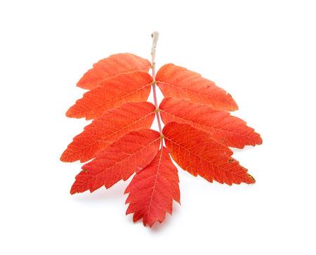 red autumn leaf isoated on white background Stock Photo