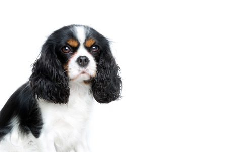funy: portrait of cute cavalier spaniel isolated on white background, copy space