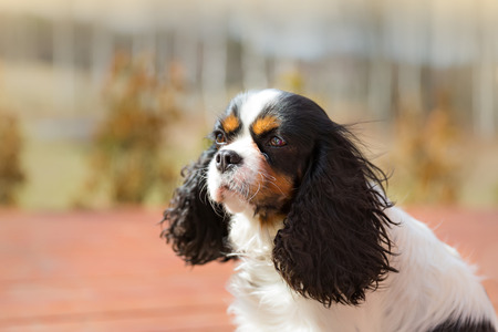 looking into: cute cavalier spaniel looking into a distance