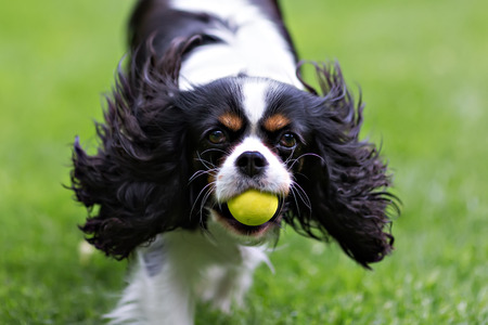cute dog, cavalier spaniel with ball running on the grass Фото со стока