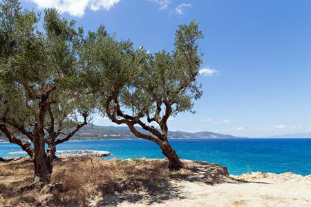 olijfbomen groeit aan de rand van de klif
