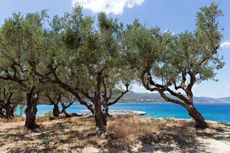 Olijfbomen groeit aan de rand van de klif Stockfoto - 67092256