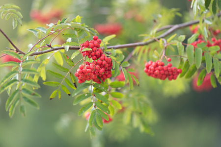 bright red berries of mountain ash, selective focus Stock Photo