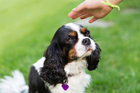 pat: cute dog - cavalier spaniel waiting for stroke