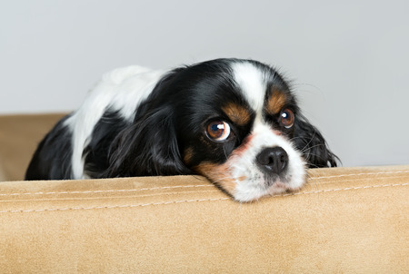 portrait o a cute dog on the sofa