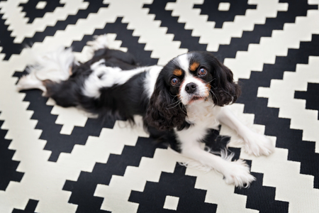 cavalier: Cute cavalier spaniel relaxing on the carpet.
