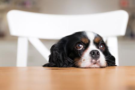 かわいい犬が台所のテーブルに食べ物を物乞い