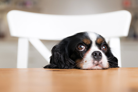 cute dog begging for food at the kitchen table Stock Photo