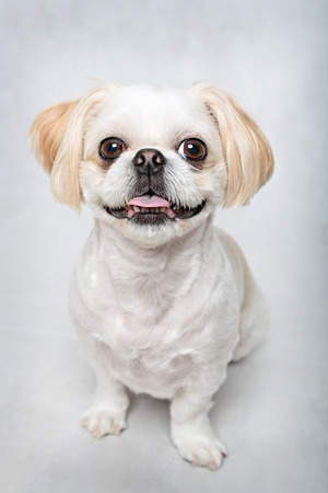 groomed: portrait of a cute shih tzu