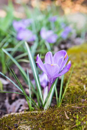 purple crocus growing in the garden