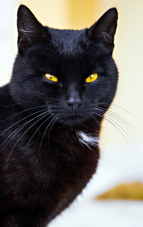 portrait of black cat Stock Photo