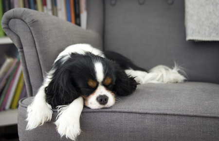 cute dog sleeping on the sofa