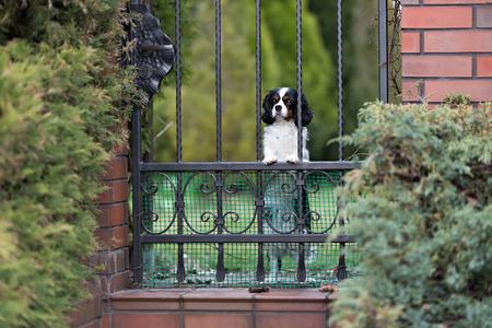 sad dog waiting behind the gate Stock Photo