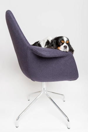 Tired dog sitting on the swivel chair on white background Stock Photo