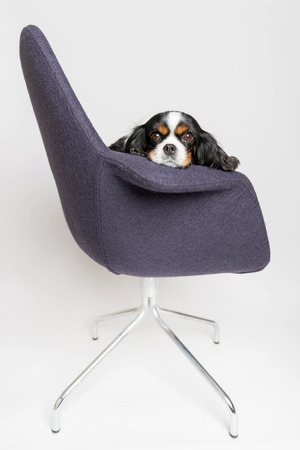Dog sitting on the swivel chair on white background