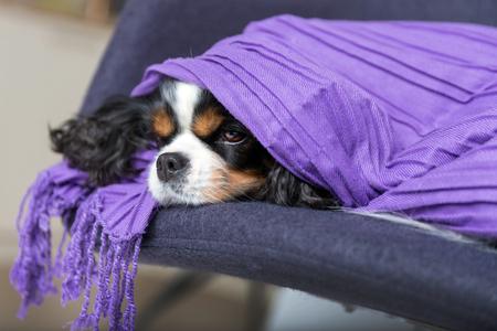 Cute dog under the warm purple blanket