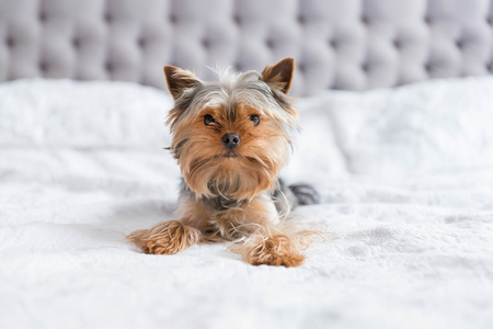 Cute yorkshire terrier relaxing in the bedroom Stock Photo