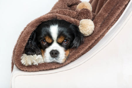 Cute dog resting on armchair covered with blanket  Stock Photo