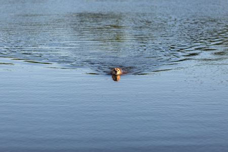 Happy golden retriever swimming in the lake Stock Photo