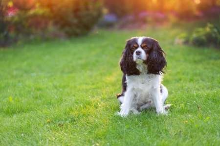 Cute cavalier spaniel sitting in the garden 免版税图像