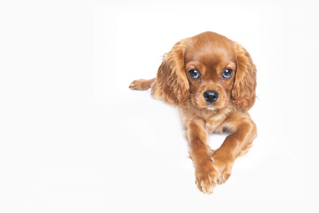 Puppy of cavalier spaniel isolated on white background