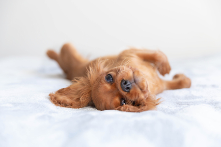 Cute puppy relaxing on the soft blanket Imagens