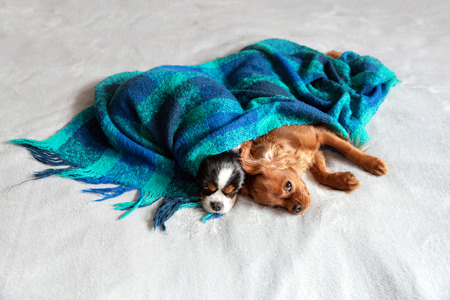 Two dogs sleepeing together under the warm blanket Stockfoto