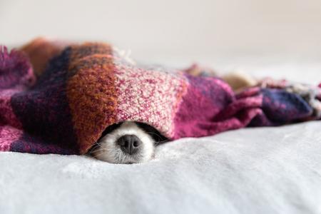 Cute dog sleepeing under the warm blanket