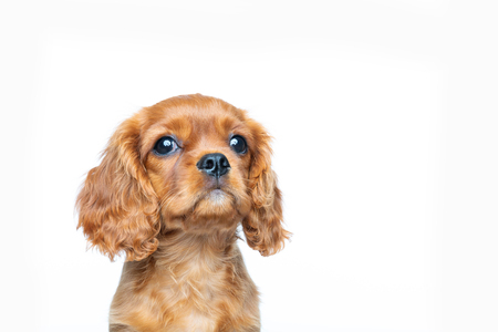 Cavalier spaniel puppy looking up isolated on white background 版權商用圖片