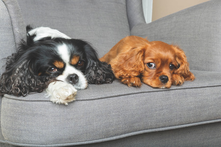Two friendly dogs relaxing together on the armchair Banco de Imagens